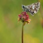 Aardbeivlinder -Pyrgus malvae