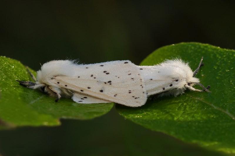 Beervlinder Witte tijger Tienuursvlinder -Spilosoma lubricipeda