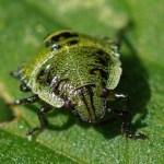 Groene Stinkwants -nimf