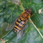 Bessenbandzweefvlieg -Syrphus ribesii