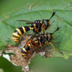 Blaaskopvlieg - Zilveren Blaaskop - Conops quadrifasciatus