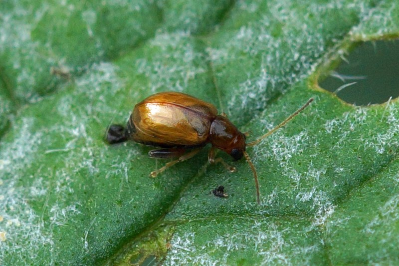 Bladhaantje -Neocrepidodera ferruginea