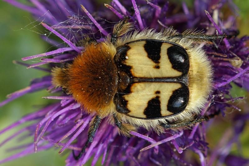 Bladsprietkever - Penseelkever - Trichius fasciatus