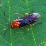 Bladwesp - Hemichroa australis