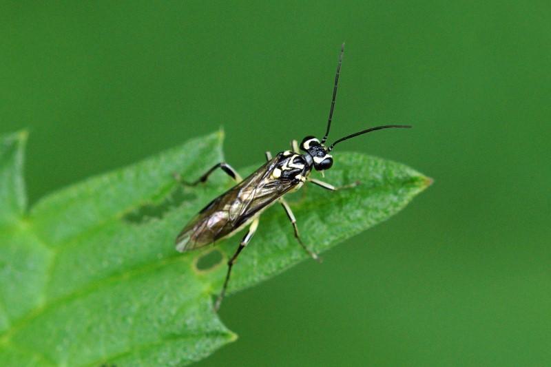 Bladwesp -Pachyprotasis rapae