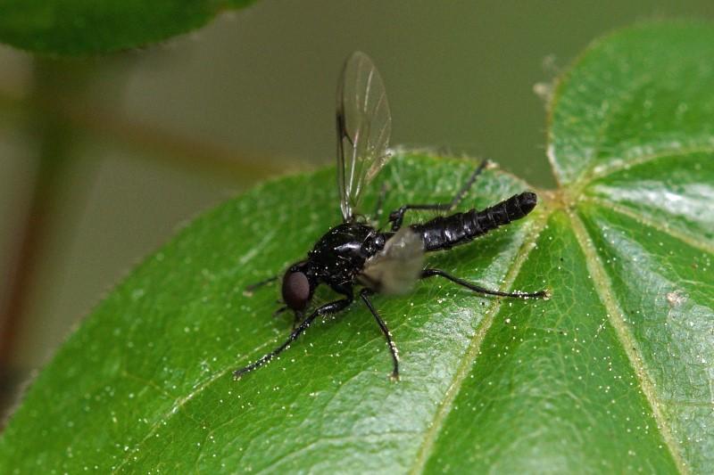 Bladwesp - Stethomostus fuliginosus