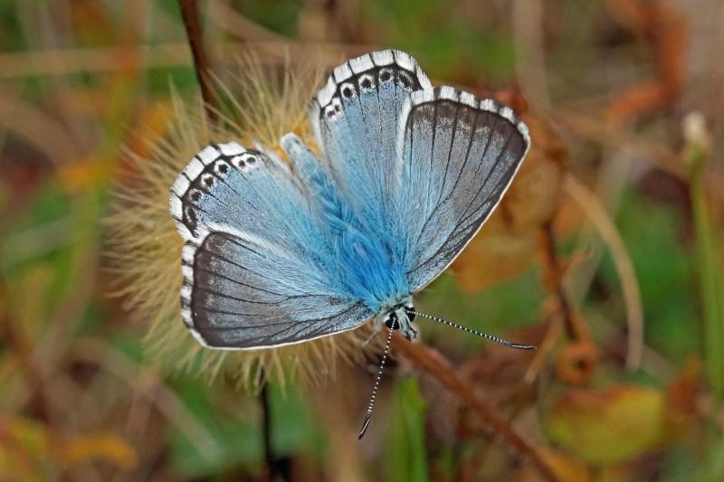 Bleek Blauwtje Polyommatus coridon
