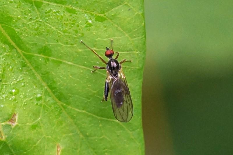 Bocheldansvliegen - Gewone Grashalmdansvlieg - Hybos culiciformis