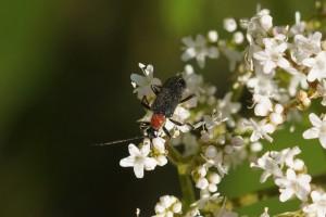 Schijnboktorren - Oedemera croceicollis