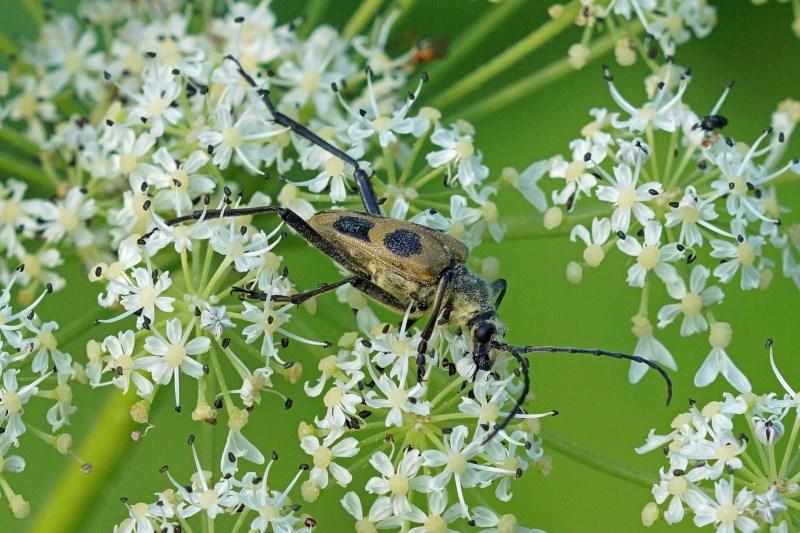 Boktor -Pachyta quadrimaculata