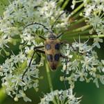 Korte Smalboktor Pachytodes cerambyciformis