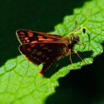 Bont Dikkopje - Carterocephalus palaemon