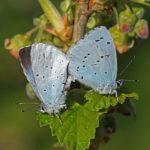 Boomblauwtjes -parend- Celastrina argiolus