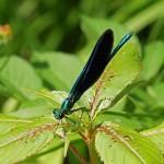 Bosbeekjuffer man -Calopteryx virgo