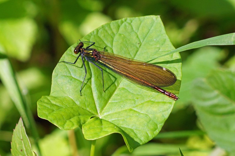 Bosbeekjuffer vrouw -Calopteryx virgo