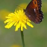 Boserebia -Erebia ligea