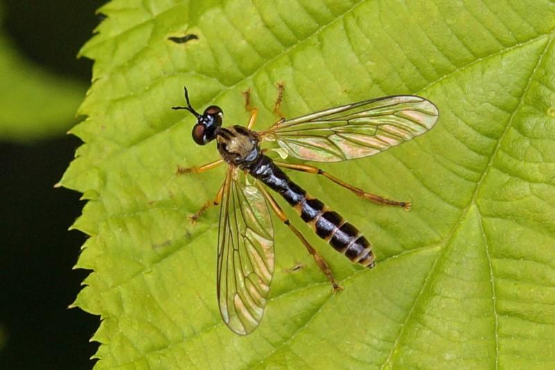 Bosgeelvlekbladjager - Dioctria linearis