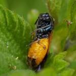 Bramenbladwesp - Arge cyanocrocea