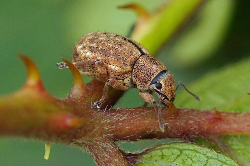 Bronzen Snuitkever -Strophosoma melanogrammum