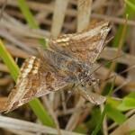 Bruine Daguil -Euclidia glyphica