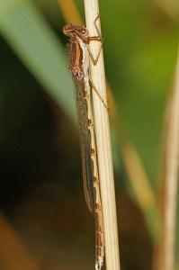 Bruine Winterjuffer-Sympecma fusca