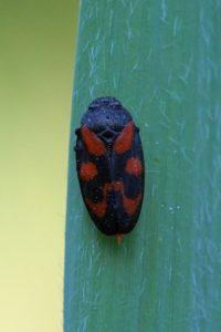 Cicade - Cercopis sanguinolenta