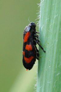 Cicade -Cercopis sanguinolenta