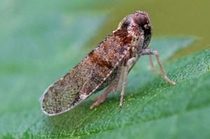 Glasvleugelcicade - Cixius distinguendus