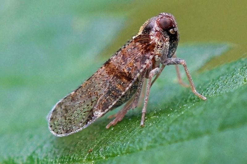 Cicade-Cixius-nervosus