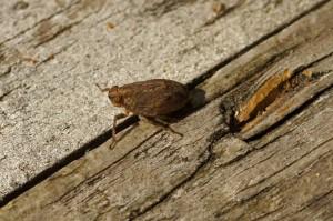 Cicade - Issus coleoptratus