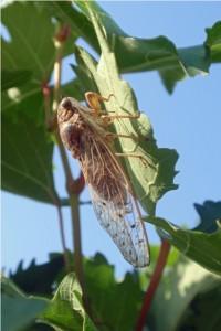 Cicade-orni