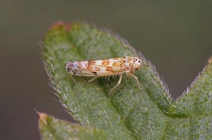 Cicadellidae - Eupteryx melissae
