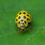Citroenlieveheersbeestje -Psyllobora vigintiduopunctata