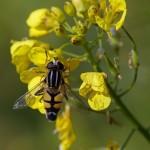 Citroenpendelzweefvlieg -Helophilus trivittatus