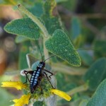 Sabelsprinkhaan -Poecilimon hamatus