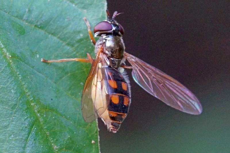 Driehoekszweefvlieg -Melanostoma