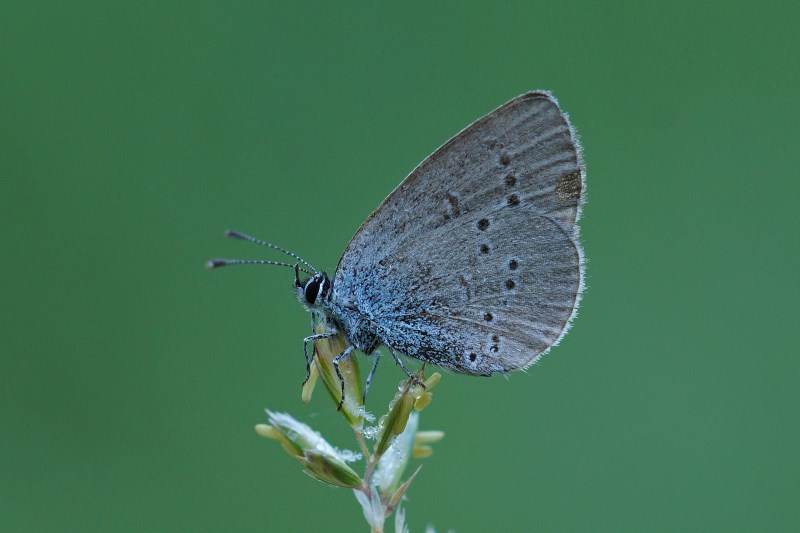 Dwergblauwtje Cupido minimus