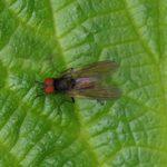 Echte Vliegen - Azelia triquetra