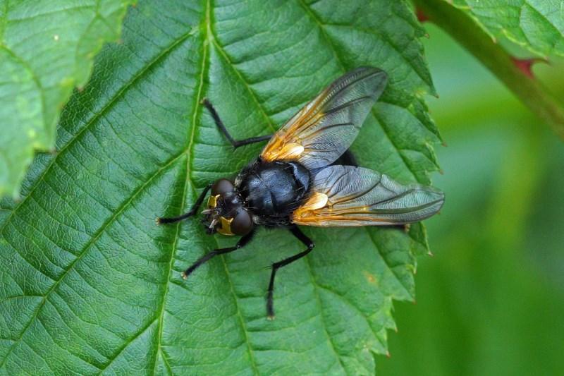 Echte vliegen - Schorsvlieg - Mesembrina meridiana