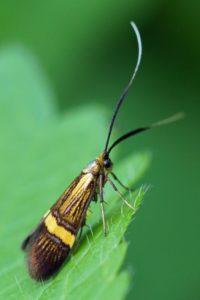 Geelbandlangsprietmot -Nemophora degeerella - vrouw