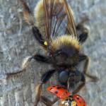 Gele hommelroofvlieg - Laphria flava