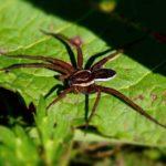 Gerande Oeverspin - Dolomedes fimbriatus - Kraamwebspin