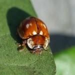 Gestreept Lieveheersbeestje - Myzia oblongoguttata