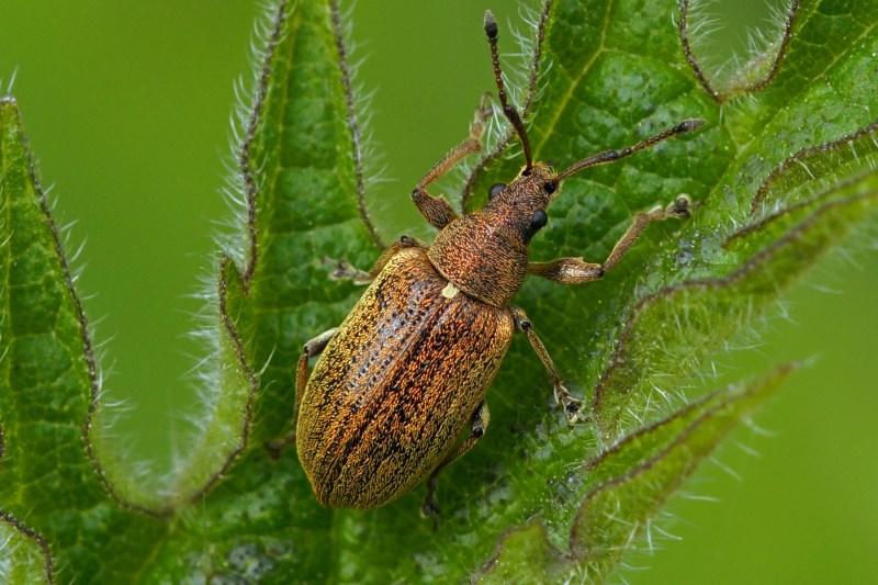 Gestreepte bladsnuitkever -Phyllobius pyri