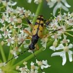 Geringelde of Gevlekte Smalbok - Leptura maculata