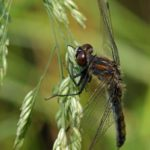 Gevlekte-witsnuitlibel -vrouw-Leucorrhinia pectoralis
