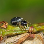 Gewone Blinker?-Heliophanus spec