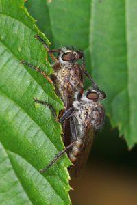 Gewone Roofvlieg - Machimus atricapillus