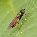 Gewone Wapenvlieg, Prachtwapenvlieg -Chloromyia formosa