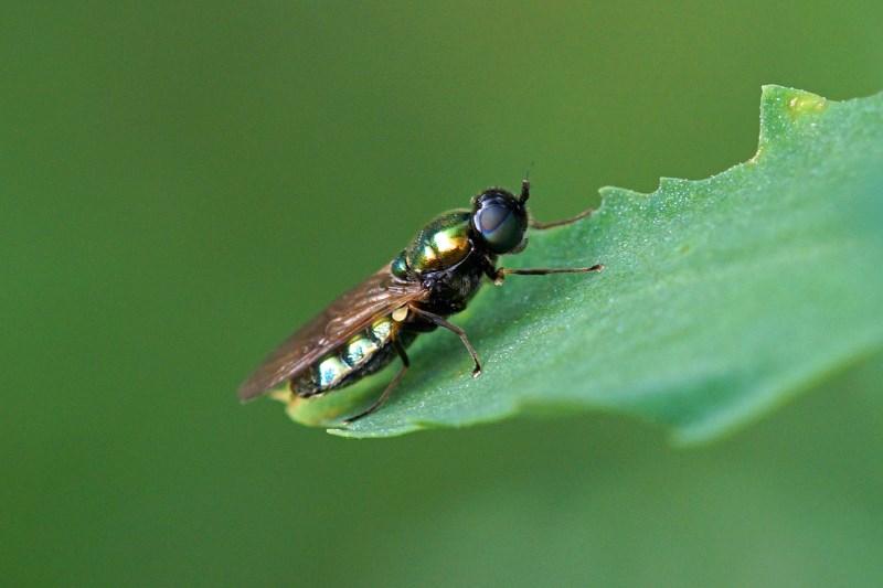 Gewone Wapenvlieg vrouw -Chloromyia formosa
